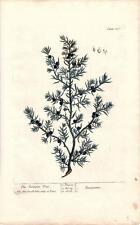 Rare Elizabeth Blackwell Folio 1739 Botanical Engraving The Juniper Tree  Pl 187