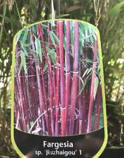 Fargesia Bamboo - Red Bamboo - £24.99 Plus Postage