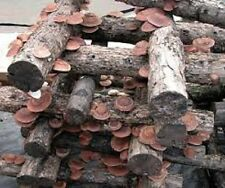 Shitake Lentinula edodes MUSHROOM Mycelium 10.000 + fresh seeds Spores $9.9O ,,