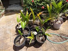 Coconut Palm Tree sprouted Seed,  (Cocos Nucifera) 1 live seed ready to plant