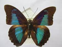 Entomologie Nymphalidae Prepona rothschildi amazonica Mâle Brésil