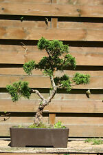 outdoor bonsai chinesischer wacholder (juniperus chinensis)