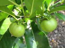 Vernon White Sapote Tropical Fruit Trees