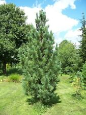 Pinus cembra Zirbel-Kiefer  100 Samen