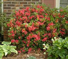 Fashion Azalea Rhododendron Fashion Glen Dale Hybrid Starter Plant