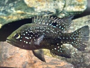 Paratilapia Polleni (2 inches)-Live Tropical Fish
