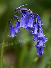 5 TRADITIONAL BLUEBELL BLUE BELL BULB CORM AUTUMN GROWING GARDEN SPRING FLOWER