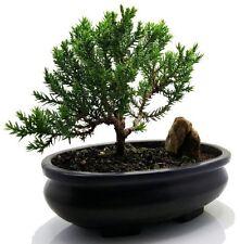 Juniper Tree Bonsai Best Gift FREE Fertilizer Easy To Care Indoor / Outdoor