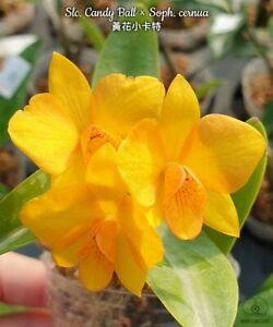 Orchid Orchidee Slc. Candy Ball × Soph. cernua = Cattlianthe Faikon Ball (22 Sr)