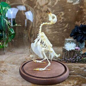 D47B Taxidermy Oddities Curiosities Rock Dove Pigeon Bird Skeleton Dome Display