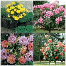 100Pcs Tree Rose Flower Tree Seeds Rare 4 Kind Pereninal Bonsai Decor For Garden
