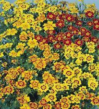 Studentenblume Tagetes Starfire Mix einjährig Höhe 30 cm Samen