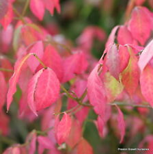 Euonymus Alatus Winged Spindle Beautiful Autumn Foilage 10 litre pot 1m Tall