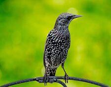 METAL REFRIGERATOR MAGNET Common Starling aka European Starling Bird Birds