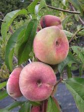 Plattpfirsich Tellerpfirsich frosthart -25°C 160cm!  Pfirsichbaum