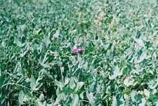 Austrian Winter Peas, wildlife/Deer food plot 2 lbs, fresh seed
