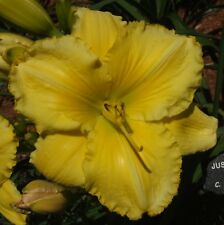Daylily Plant JUST ANOTHER YELLOW Hanson-C Double Fan Yellow Perennial Flower