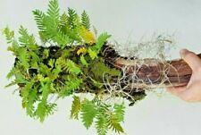 Live Tillandsia air plant, Resurrection Fern, indoors,Terrarium, on Oak limb 1