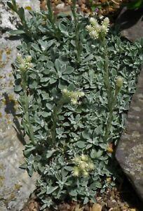 Antennaria Diocia 'Alba' -Evergreen Alpine Rockery Ground-cover Plant in 9cm Pot