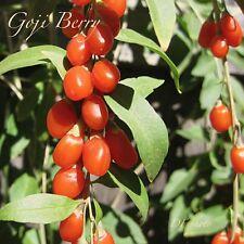 Lycium barbarum, Goji Berry, wolfberry, 1 live plant, 4� pot