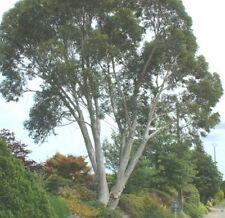 Garten Samen Rarität Exot frosthart Baum Staude SCHNEE EUKALYPTUS BAUM