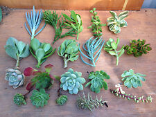 40X Mixed succulent Cuttings ***FREE POSTAGE***