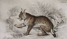 Jardine - Lynx - Original Copper Plate Engraving - 1839 - Free Ship In Us !