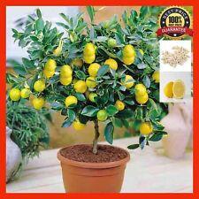 100pcs Lemon Tree Seeds High Survival Rate Bonsai, Fruit Seed For Home Garden