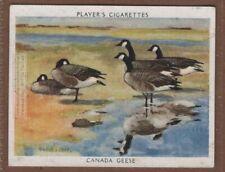 Migratory Canada Goose Branta canadensis Wild Fowl 1930s Ad Trade Card
