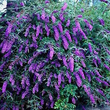 25+ VIOLET BUTTERFLY BUSH, BUDDLEIA DAVIDII / PERENNIAL DEER RESIST FLOWER SEEDS
