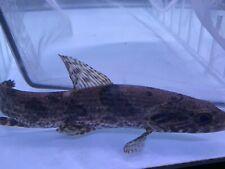 New listing Live Tropical Fish -Aimara Wolf Fish (Hoplias aimara)6 Inches