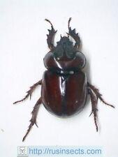Scarabaeidae, Dynastinae Strategus antaeus USA (New Jersey) male