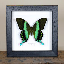 The Peacock Butterfly in Box Frame (Papilio blumei)  insect taxidermy