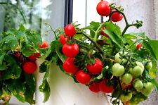 TOMATE TOPFTOMATE Zimmer, Balkon, kleinste Tomatenpflanze,  gelb sehr süß,