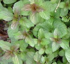EAU DE COLOGNE MINT hardy perennial edible herb plant in 100mm pot