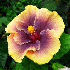 20 Purple Yellow Hibiscus Seeds Perennial Hardy Seed Flower Flowers Seed 95
