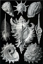 Ernst Haeckel Art Forms of Nature Anenome Nautilis Mollusk Shell  18x24 new