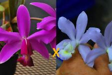 Orchidee cattleya NEU Via Dolosa erste Jungpflanze seedling Pflanzen