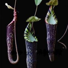 50Pcs Striped Black Nepenthes Seeds Carnivorous Plants Plant Garden Bonsai New