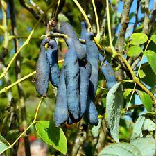 Decaisnea fargesii Blaugurke Blauschote eßbare Früchte winterhart -20 Grad -7091