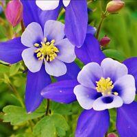 US-100 Columbine Mix Color Seeds Aquilegia Viridiflora