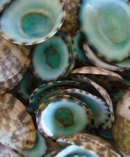 Green Limpet Shells Case Pack 25 pcs Free shipping