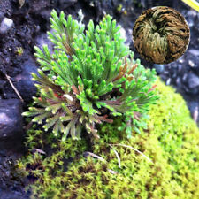 Rose of Jericho Dinosaur Plant Air Fern Spike Moss Live Resurrection Plant New