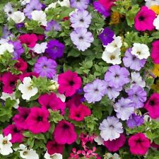 "BUY 2 GET 1 FREE 2000 seeds Trailing Petunia Balcony mixed+4"" FREE PLANT LABEL"