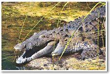 Crocodile in the Sun - NEW Animal Wildlife POSTER