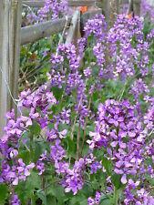 HONESTY-- 25+ USA seeds. (Lunaria, money plant). Heirloom flowers-nice purple!