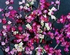 10 Heuchera 'Bressingham Hybrids' Mini Plug Plants - Hp