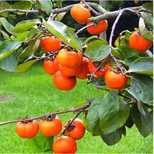20 PERSIMMON TREE Diospyros Fruit Seeds Organic Non-GMO Juicy Garden Bloom Plant