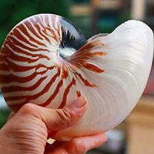 13-15Cm 5-6Inch Natural Nautilus Seashell Tiger Chambered Decor Nautilus M3S5