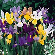 Mixed Dutch Iris orchid 20 Rhizome SUPER VALUE Taproot Corm Tuber Heirloom